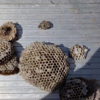 Multiple wasp nests removed from a business