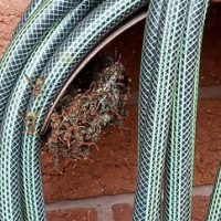 Wasps on a hose reel