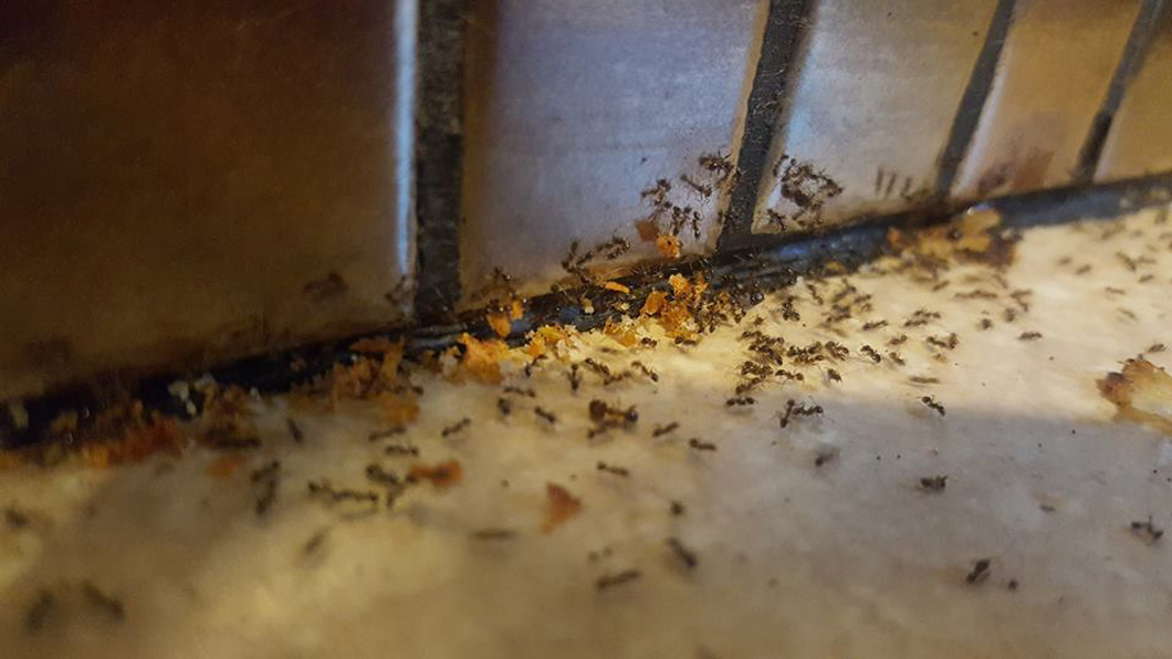 ant control northern beaches
