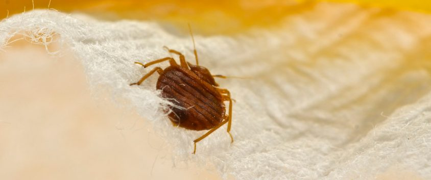 bed bug treatment northern beaches
