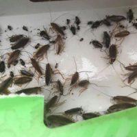 Cockroach baiting