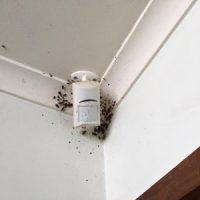 German cockroach infestation