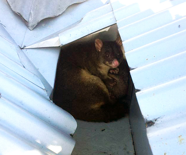 Possum Removal Northern Beaches Clean And Green Pest Removal