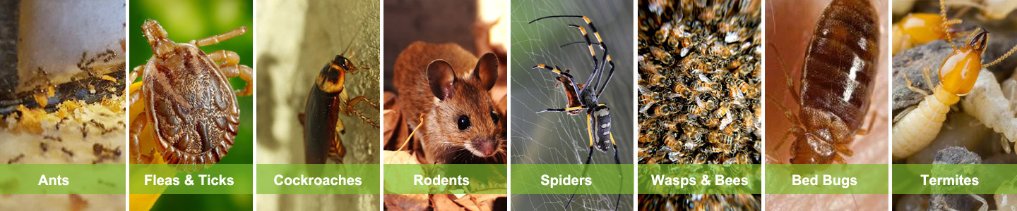 manly pest control services