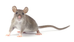 rat mouse removal manly