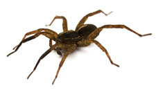 spider pest control manly