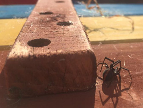 northern beaches spider control