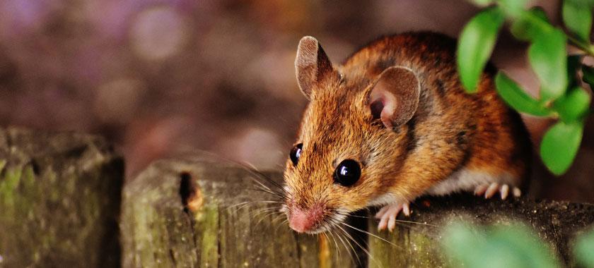 rat mouse control sydney