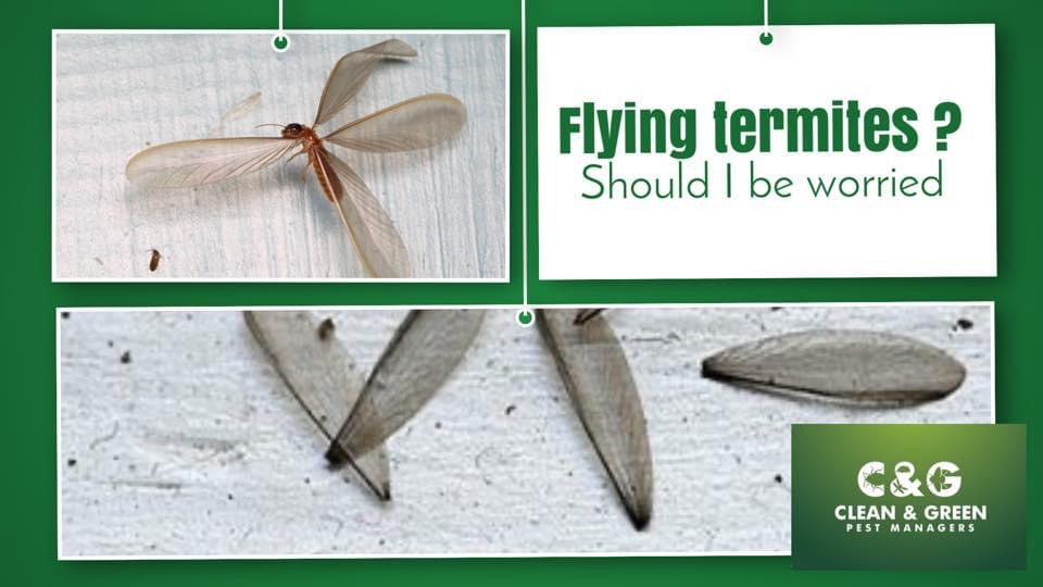 Flying Termites Is Your Property At Risk What You Need To Know Clean Green Pest Control Northern Beaches