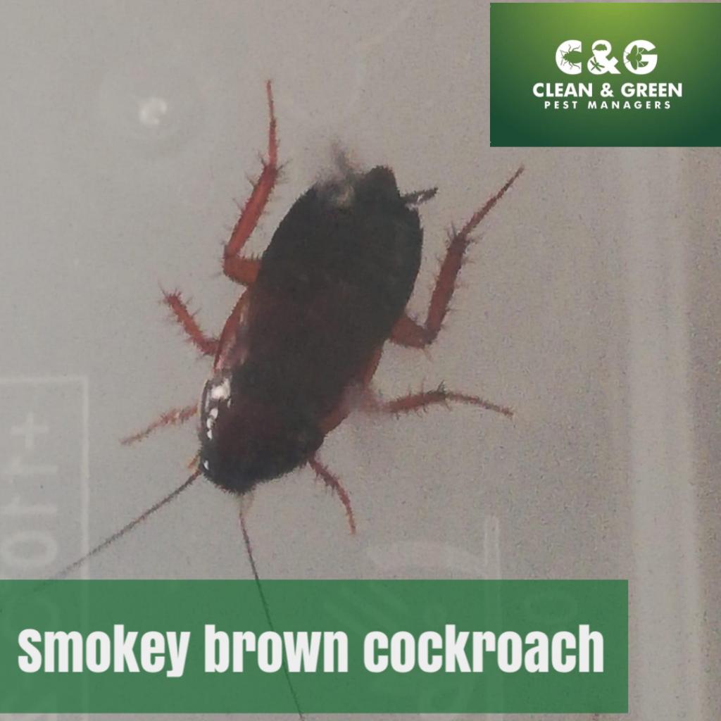 Smoky brown cockroach