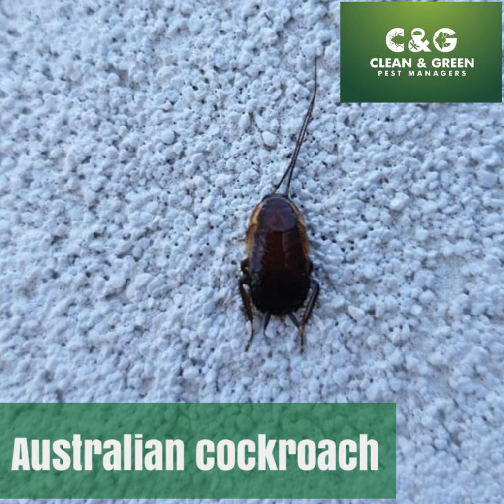 a brown roach