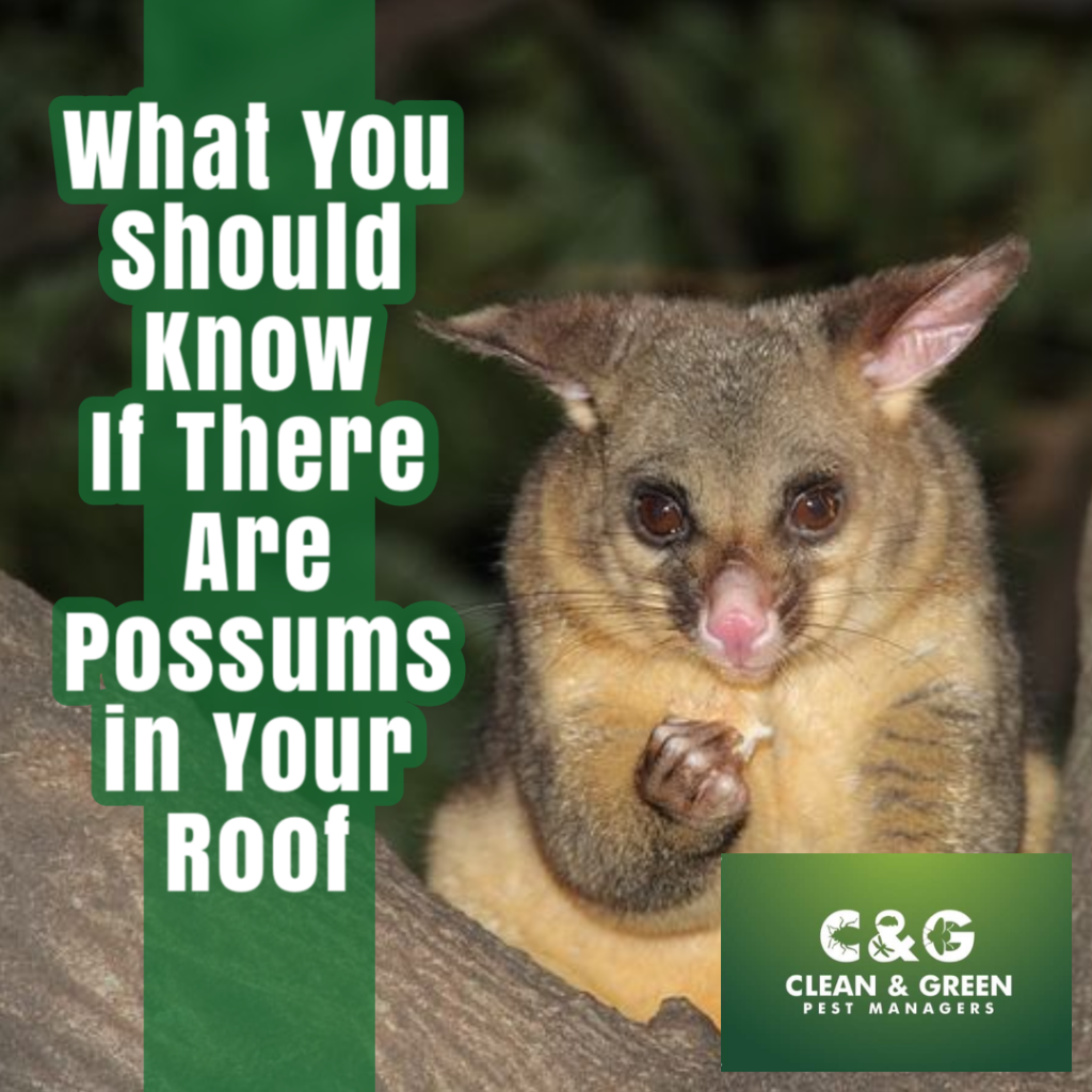 What You Should Know If There Are Possums in Your Roof