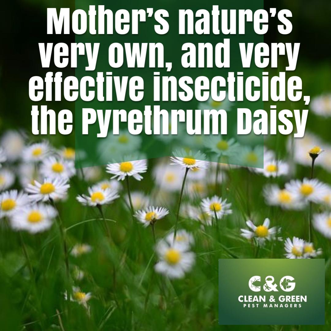 pyrethrum daisy cover image