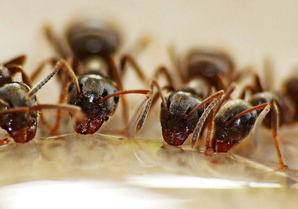 Ant baiting