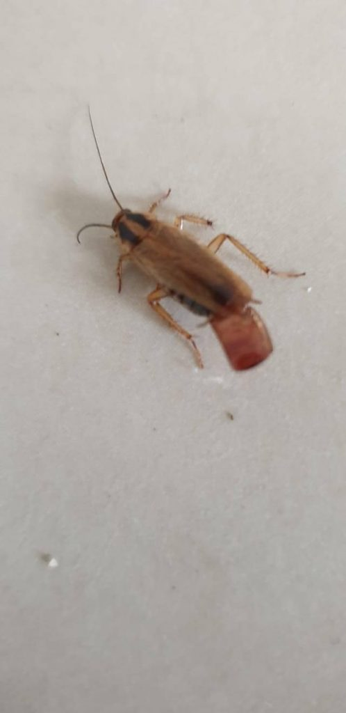 Cockroach carrying egg case